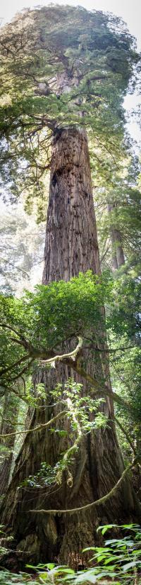 Redwoods National Park   Panorama